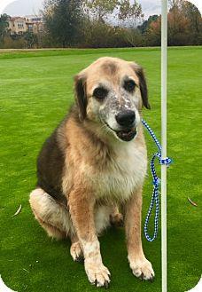 Shepherd (Unknown Type)/Coonhound (Unknown Type) Mix Dog for adoption in Santa Monica, California - BEAR