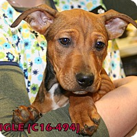 Adopt A Pet :: Jingle - Tiffin, OH