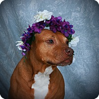 Adopt A Pet :: Shiva Diva - Toms River, NJ