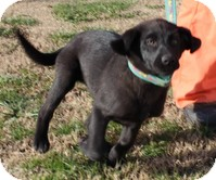 Labrador Retriever/Border Collie Mix Puppy for adoption in Windham, New Hampshire - Sugar Pie