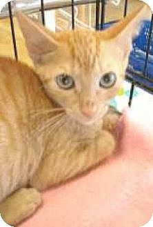 Domestic Shorthair Kitten for adoption in Miami, Florida - Danny