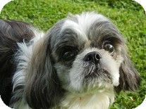 Shih Tzu Dog for adoption in Spring City, Tennessee - Galileo