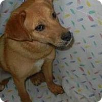 Adopt A Pet :: Robert Dawgie, Jr. - Antioch, IL