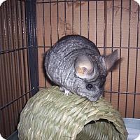 Adopt A Pet :: Pancake - Avondale, LA
