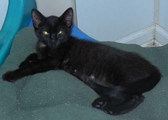 American Shorthair Kitten for adoption in Burgaw, North Carolina - Star