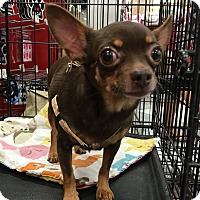 Adopt A Pet :: Coco Chanel - Tucson, AZ