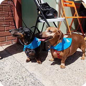 Dachshund Dog for adoption in Verona, New Jersey - Hanz & Franz