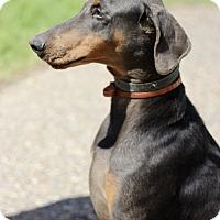 Adopt A Pet :: Cowboy - McAllen, TX