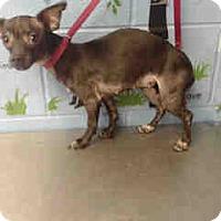 Chihuahua Dog for adoption in San Bernardino, California - URGENT ON 10/8  San Bernardino