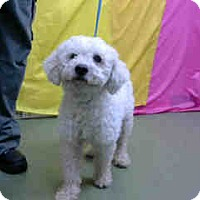 Bichon Frise Mix Dog for adoption in San Bernardino, California - URGENT 10/7 @ DEVORE