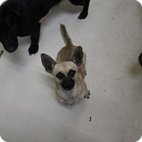 Chihuahua Mix Dog for adoption in Odessa, Texas - A31 Winston