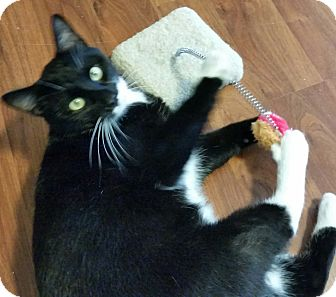 Domestic Shorthair Cat for adoption in Spring Brook, New York - Tuxie