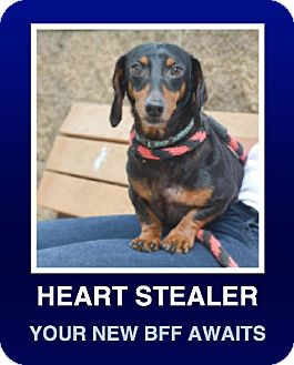 Dachshund Dog for adoption in Morrisville, Pennsylvania - Koffee