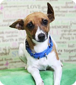 Jack Russell Terrier/Parson Russell Terrier Mix Dog for adoption in South Bend, Indiana - Elsa