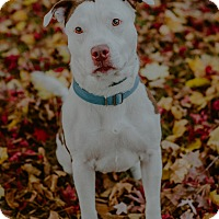 American Pit Bull Terrier Mix Dog for adoption in west berlin, New Jersey - Twiggy