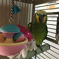 Amazon for adoption in Punta Gorda, Florida - Popeye