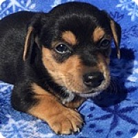 Dachshund Mix Puppy for adoption in Houston, Texas - Marlon McIntosh