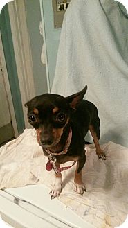 Chihuahua/Miniature Pinscher Mix Dog for adoption in Verona, New Jersey - Squeaker: Courtesy Post