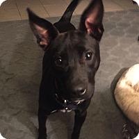 Adopt A Pet :: Molly - Baltimore, MD