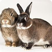 Lop-Eared for adoption in Kingston, Ontario - Silver and Ti-Gris