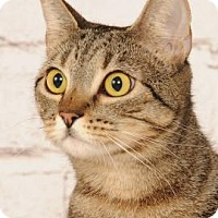 Domestic Shorthair Cat for adoption in Titusville, Florida - Willow
