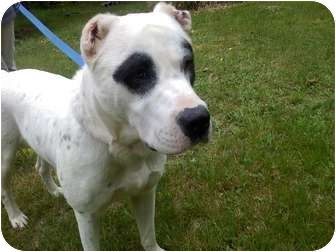 American Bulldog Mix Dog for adoption in Raymond, New Hampshire - Jimmy