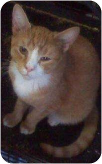Domestic Shorthair Cat for adoption in Lindenhurst, New York - R.W.