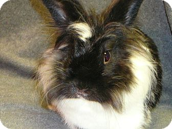Lionhead Mix for adoption in Newport, Delaware - Lucia