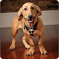 Adopt A Pet :: Stewie - Owensboro, KY