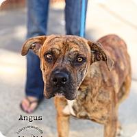 Adopt A Pet :: Angus - Burbank, CA