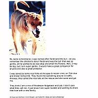 Rhodesian Ridgeback/Labrador Retriever Mix Dog for adoption in Phoenix, Arizona - Ferdinand
