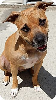 Patterdale Terrier (Fell Terrier)/American Staffordshire Terrier Mix Dog for adoption in Long Beach, New York - Miss Frankie