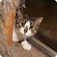 Domestic Shorthair Cat for adoption in Orlando, Florida - Walter