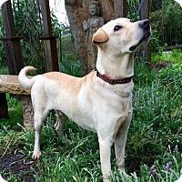 Adopt A Pet :: Picasso - Penngrove, CA