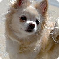 Adopt A Pet :: Nani - Bridgeton, MO