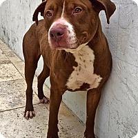 Adopt A Pet :: Dolly - Los Angeles, CA