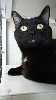 Domestic Shorthair Cat for adoption in La Grange Park, Illinois - Rosalie