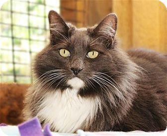 Domestic Mediumhair Cat for adoption in Lincoln, California - Gidget