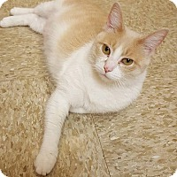 Adopt A Pet :: Stella - Hazel Park, MI
