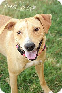 Labrador Retriever Mix Dog for adoption in Pilot Point, Texas - JENNY