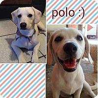 Adopt A Pet :: Polo - LAKEWOOD, CA