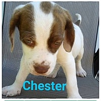 Hound (Unknown Type)/Labrador Retriever Mix Puppy for adoption in fort wayne, Indiana - Chester