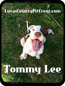 American Bulldog/American Pit Bull Terrier Mix Puppy for adoption in Toledo, Ohio - Tommy Lee