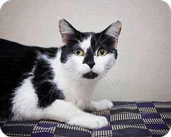 Domestic Shorthair Cat for adoption in Sterling, Kansas - Kitty Marie