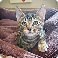 Domestic Shorthair Cat for adoption in Fredericksburg, Texas - Romulous