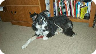 Border Collie Mix Dog for adoption in Denver, Colorado - Blackie