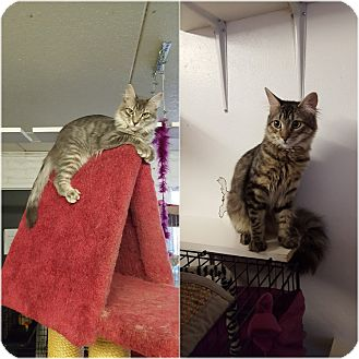 Domestic Mediumhair Cat for adoption in Phoenix, Arizona - MAVERICK & MOE