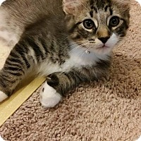 Maine Coon Kitten for adoption in Clay, New York - Hamilton Maine coon mix