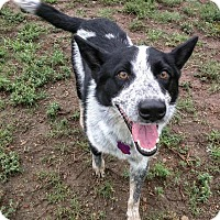Australian Cattle Dog Mix Dog for adoption in Manhattan, Kansas - Houston