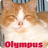 Domestic Longhair Cat for adoption in Lawrenceburg, Kentucky - #4158 Olympus